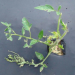 Figure 3: Hail damage to young tomato plant. (Photo: Rebekah D. Wallace, University of Georgia, Bugwood.org)