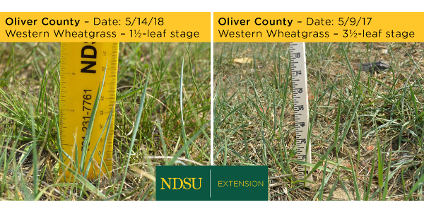 Overgrazing, cool weather and lack of rain delayed grass development this spring in central North Dakota, compared with a year ago. (NDSU photos)