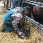 A veterinarian performs a breeding soundness exam on a bull. (NDSU photo)