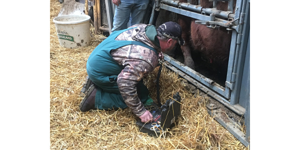 Bulls may fail breeding soundness exams