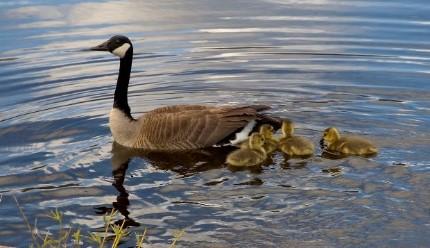 The goose, duck, Merganser, redwing & frog