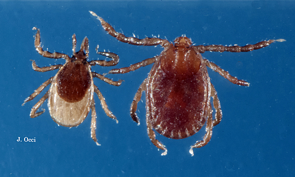 5 things about the new species of tick in the U.S.