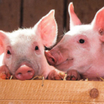 Researchers at the University of Illinois are helping to determine the contribution that high-fiber feed ingredients make to the energy content of swine diets. (Courtesy of University of Illinois)