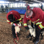 Firefighters working with sheep. (Courtesy of MSU Extension)