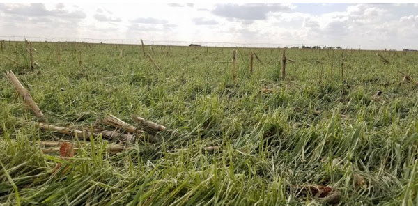 Hail damaged field at Rich and Glenda Randall's near Scott City, Kansas. (Courtesy of Kansas Wheat)