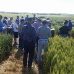 SDSU Extension is collaborating with South Dakota Wheat, Inc. to organize the 2018 annual Wheat Walks in Milesville, Sturgis, Mt. Vernon and Miller beginning May 31, 2018. (Courtesy of iGrow.org)