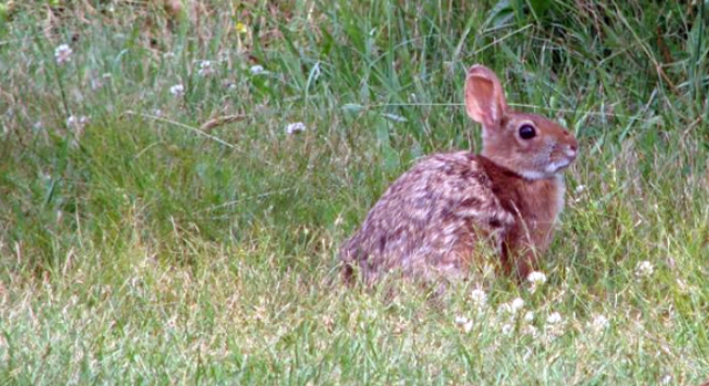 New method to estimate cottontail population