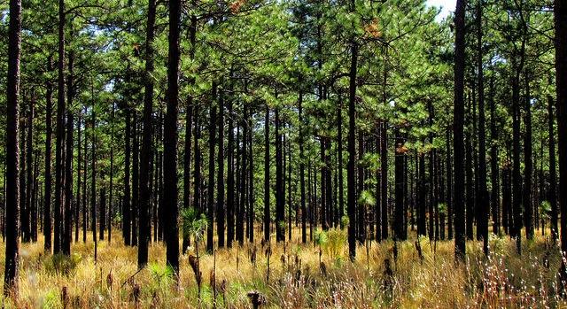 Longleaf Pine Program For Landowners Morning Ag Clips