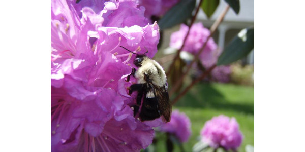 A queen bumblebee (Bombus impatiens) collects floral resources for her nest. (Courtesy of Leif Richardson)