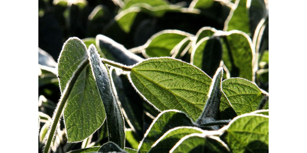 Using technology to manage white mold in soybean