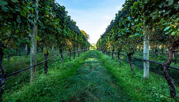 Wine industry is adapting to climate change