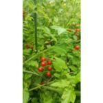 cherry tomato with foliar disease