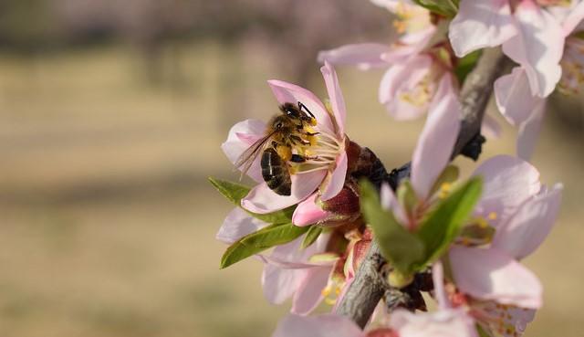 Almond Alliance hails funding for bee program