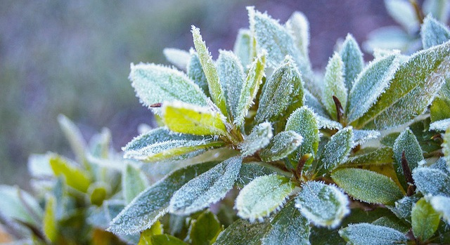 Frosts damage crops across northern Maine