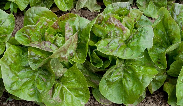 Romaine farmers take action to prevent outbreaks