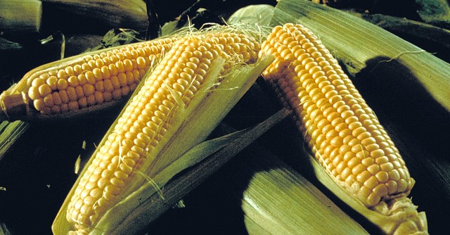 Record sales for Fresno State sweet corn