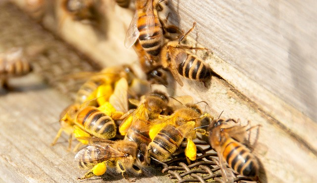 Scientists monitor honeybee winter survival rates