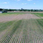 Aerial view of a field in Monroe County showing thin stand and yellowing (the thin, yellow areas are a replant). There were an average of two grubs per cup cutter, but hot spots with six to seven per cutter. Pupae were found this week. (Photo by Ricardo Costa, MSU Extension)
