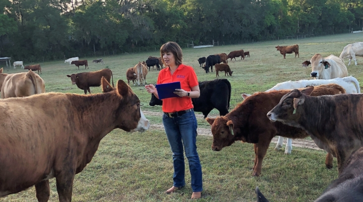 UF beef researcher tries to find healthier cattle