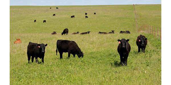 Great Plains Grazing will host a beef producer conference for producers in Oklahoma, Kansas and Texas, June 28-29, in Shawnee, Oklahoma. (Courtesy of K-State Research and Extension)