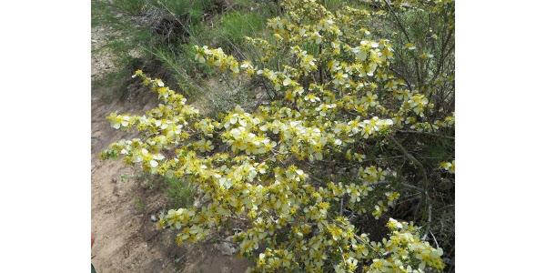 Cliffrose (Purshia stansburiana). (Courtesy of Irene Shonle)