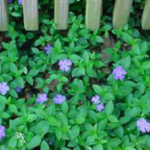 Vinca minor is a plant with a high potential for an invasive habit. Do not plant! (Courtesy of Purdue University)