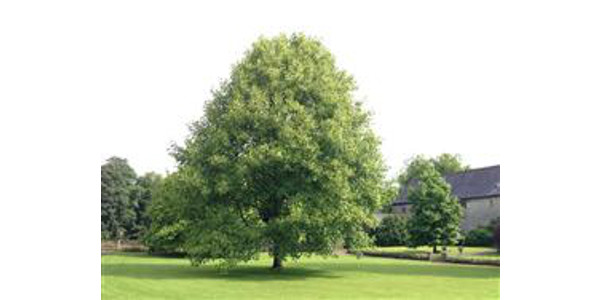 A tuliptree, the state tree of Indiana. (Courtesy of Purdue Extension)