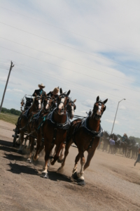Dozens of volunteers from many states direct the Six Horse Hitches to enter the Show Ring at a fast trot at the Dakota Royal Charity Draft Horse Show. Driver Gary Miller of Willow Creek Belgians from Joy, Illinois is ready to showcase his driving skills at this national level show in Brookings, SD.