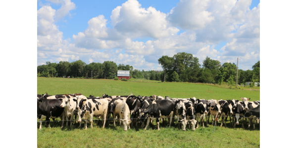 Dairy cattle line the fence at the Peasley Farm near Black River Falls during a pasture walk organized last year by River Country RC&D and Farmers Union. (Courtesy of WFU)