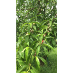 Peach Trees in Northern Illinois should already have small fruit on them. If you do not have this, you may find that your buds were killed this winter and should plan for a harvest next year. (Courtesy of University of Illinois Extension)