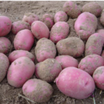 In the San Luis Valley, powdery scab disease is developing into a major concern for potato production in recent years. (Courtesy of Colorado Potato)