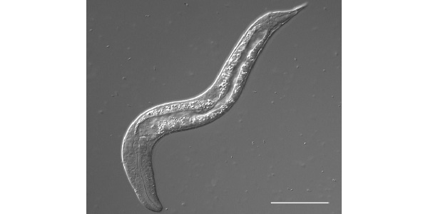 A newly hatched Steinernema carpocapsae juvenile (shown here, scale bar 50 µm) is only about 0.25 mm (less than 1/100 of an inch) long with a gonad only 0.013 mm in length. During development, the worm will increase over 10 times in length (in comparison, the average human only increases about 4 fold in height from birth to adulthood) and its gonad increases almost 500 times in length. (Image credit Nathan Schroeder, University of Illinois)