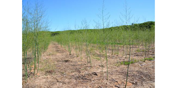 Timing for post-harvest weed control in asparagus