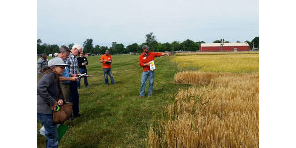 A malting barley field day is scheduled at KBS for June 20. (Courtesy of MSU Extension)