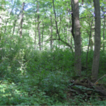 Minnesota woodland owners, natural resource managers, right of way managers, municipal, township and county employees, and other vegetation management professionals are invited to participate in a survey about invasive plants. (Courtesy of University of Minnesota Extension)