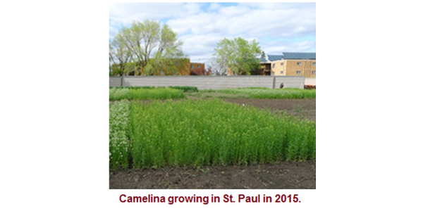Throughout the event, scheduled for June 27, 2018, attendees will learn about winter camelina, an exciting new oilseed crop currently in the research and development phase, which has the potential to transform food, fuel and feed in Minnesota. (Courtesy of University of Minnesota Extension)