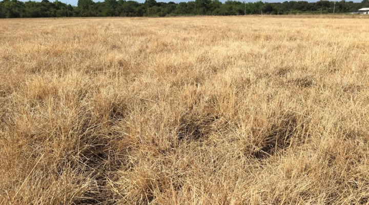 New summer-dormant tall fescue variety released