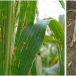 Figure 1. (left) Corn leaves with bacterial leaf streak may appear to have a yellow halo around lesions. (right) Recent wet conditions and wounding from hail or storms favor development of Goss's wilt, shown here. (Photos by Tamra Jackson-Ziems)