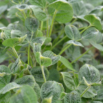 Dicamba damage in soybean. (Courtesy of University of Minnesota Extension)