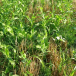 The Annual Forage Insurance Plan offers an opportunity to manage precipitation risk. (Photo Courtesy of Jerry Volesky)