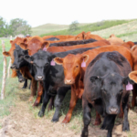 Flexible grazers could include developing more heifers. (Photo courtesy of Troy Walz)