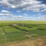 University of Minnesota Extension is offering four Small Grain Summer Plot Tours across MN in June and July to address small grain production issues, variety performance, and insect and disease pests. (Courtesy of University of Minnesota Extension)