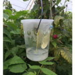 Spotted wing Drosophila flies can be monitored with deli cup traps using a commercial lure hung over a drowning solution of soapy water. For best results, hang traps in the shade of the crop canopy. (Photo by MSU Extension)