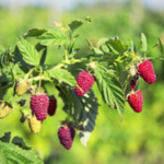 Blackberry and raspberry gardeners can achieve a huge boost in berry yield by learning a technique known as tipping, according to a University of Illinois Extension horticulture educator. (Courtesy of University of Illinois)