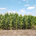 Scientists, led by a group from the University of Illinois, are teaming up with farmers across the region to develop and test new maize cultivars with the goal of bringing high-quality, diverse options to the organic marketplace. (Courtesy of University of Illinois)