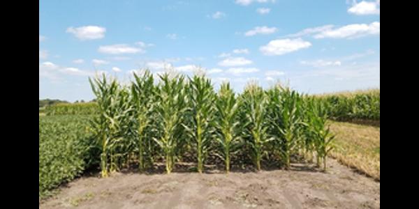 Illinois announces dates for 'aMaizeing' field days