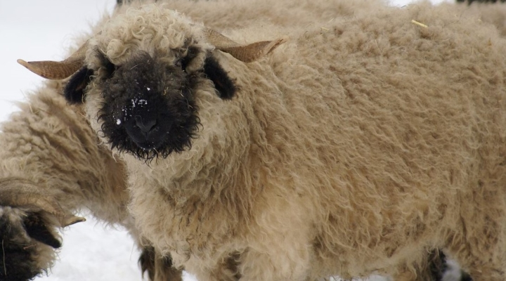 Northern Ireland town hosts competition for 'world's cuddliest sheep'