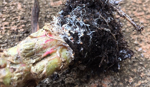 Could compost tea control Southern Stem Blight?