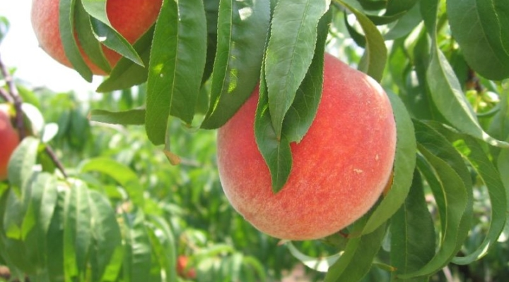 Weather puts the freeze on Georgia's peach crop