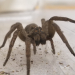 This female wolf spider (Tigrosa helluo) was recently brought into our office by a Broomfield employee. She was about 3 inches long! I released her into our Xeriscape Demonstration Garden where, I'm sure, she is providing effective pest control. (Photo credit: Jessica Wong)